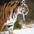 Siberian tiger walking through the snow — Stock Photo