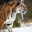 Siberitiger walking through snow — Stock Photo #32148123