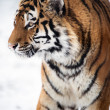 Siberitiger walking against background of snow — Stock Photo #32148141