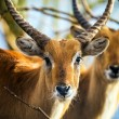 Antelope in wood — Stock Photo