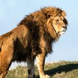 Male lion stood on crest of grassy hill — Stock Photo #32149981