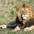 Male lion lying on grass — Stock Photo #32149991