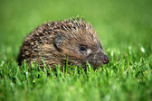 Baby European Hedgehog — Stock Photo