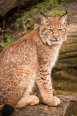 Lynx against a background of rock and grass — Stock Photo