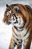 Siberian tiger walking against a background of snow — Stock Photo