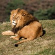 Male lion lying on grass — Stock Photo #32150019