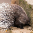 Stock Photo: Porcupine turning and displaying spines