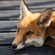 Red Fox — Stock Photo #32154473