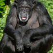 Chimpanzee Portrait — Stock Photo #32155011