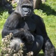 Silverback Gorilla — Stock Photo #32155589