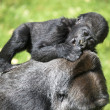 Gorilla Baby — Stock Photo