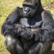 Silverback Gorilla — Stock Photo #32155619