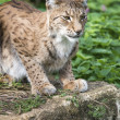 Lynx on Rock — Stock Photo
