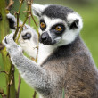 Stock Photo: Lemur Climbing