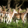 Herd of Fallow Deer — Stock Photo #32156751