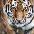 Stalking Tiger — Stock Photo #32157313