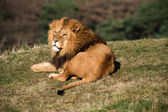 Male lion lying on grass — Stock Photo