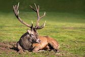 Stag with huge antlers — Stock Photo