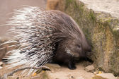 Porcupine turning and displaying spines — Stock Photo