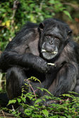 Male Chimpanzee Eating Against a Background of Leaves — Stock Photo