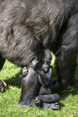 Baby Gorilla Clasping Mother's Leg — Stock Photo