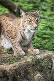 Lynx on Rock — Stock Photo