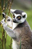 Lemur Climbing — Stock Photo