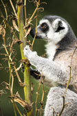 Lemur climbing a green branch — Stock Photo