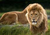 Male lion walking towards viewer — Stock Photo