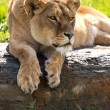 Backlit lioness on large flat rock — Stock Photo #32202447