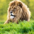 Lion laid in vibrant green grass — Stock Photo #32202461