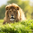 Lion laid in vibrant green grass — Stock Photo