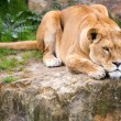 Lioness resting on a large rock — Stock Photo