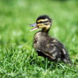 Stock Photo: Tiny duckling running through grass quacking