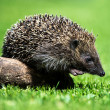 Hedgehog stepping off a small log — Stock Photo