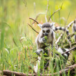 Stock Photo: Two baby ring tailed lemurs