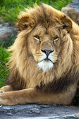 Male lion lying on large flat rock — Stock Photo