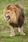 Growling LIon — Stock Photo