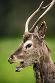 Red deer against a background of grass — Stock Photo