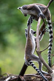 Baby Ring Tailed Lemurs — Stock Photo