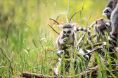 Two baby ring tailed lemurs — Stock Photo