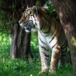 Siberian tiger in forest — Stock Photo