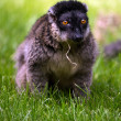 Stock Photo: Brown Lemur