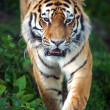 SiberiTiger — Stock Photo #32211011