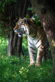 Siberian tiger in forest — Stockfoto