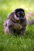 Brown Lemur — Stock Photo