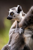Baby ring tailed lemur on mothers back — Stock Photo