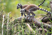 Two baby ring tailed lemurs playing on a branch — Stock Photo