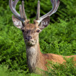 Male Red Deer Deep — Stock Photo