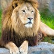 Male lion lying on large flat rock — Stock Photo